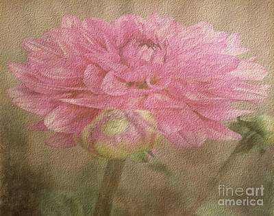 Photograph - Soft Graceful Pink Painted Dahlia by Judy Palkimas