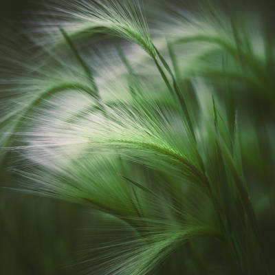 Square Photograph - Soft Grass by Scott Norris