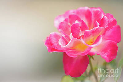 Photograph - Soft As A Whisper Of A Hot Pink Rose by Sabrina L Ryan