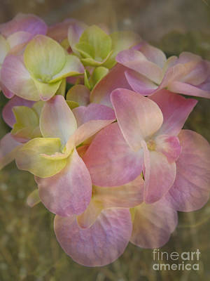 Photograph - Soft Hydrangea  Petals by Ella Kaye Dickey