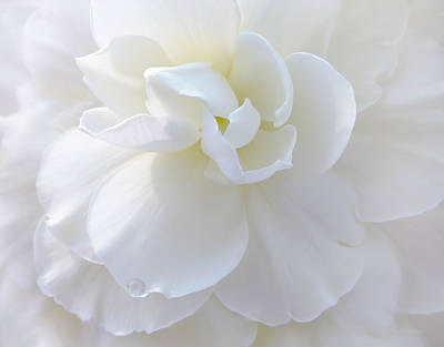 Soft Ivory Begonia Flower Art Print by Jennie Marie Schell