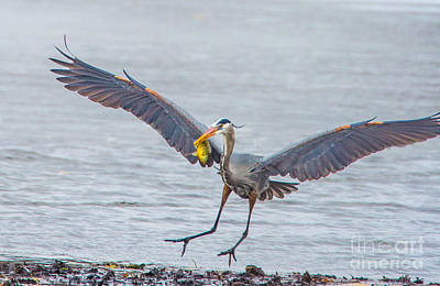 Photograph - Soft Landing With Fish by Bill Woodstock