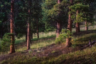 Photograph - Soft Light In A Forest Glade Of Trees by John Brink