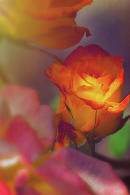 Photograph - Soft Lit Rose by Thomas Hall