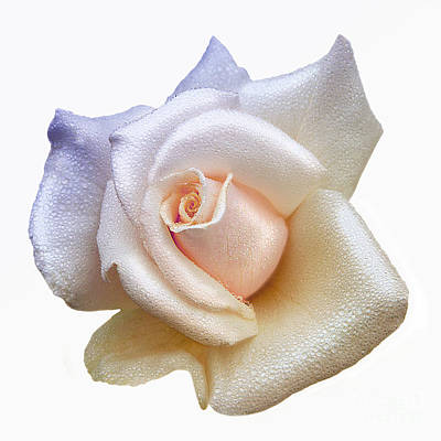 Photograph - Soft Lovely Rain Drops On Pastel White Rose Petals by Jerry Cowart