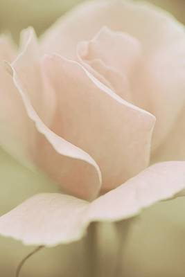 Soft Photograph - Soft Pastel Rose by The Art Of Marilyn Ridoutt-Greene