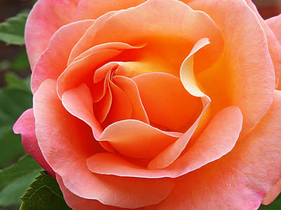 Photograph - Soft Peach Rose by Gill Billington