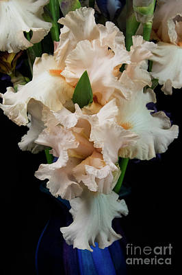 Photograph - Soft Peachy Iris by Louise Magno