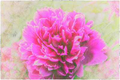 Photograph - Soft Peony by Pamela Williams