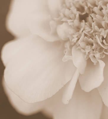 Photograph - Soft Petals by Christine Ricker Brandt