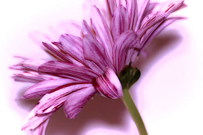 Still Live Photograph - Soft Petals by Martin Newman