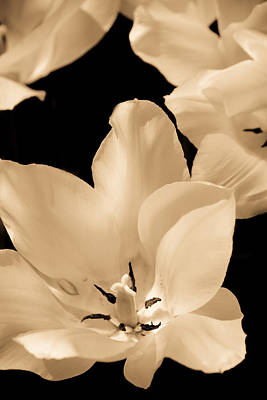 Photograph - Soft Petals by Trish Tritz