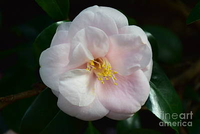 Photograph - Soft Pink Camellia by Jeannie Rhode