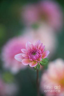 Photograph - Soft Pink Dahlia Bloom by Mike Reid