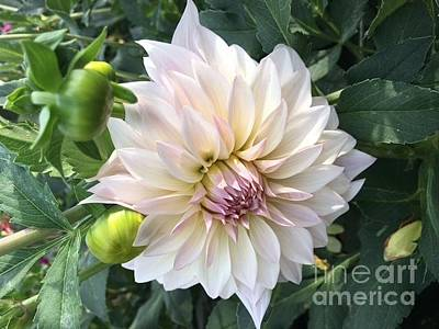 Photograph - Soft Pink Dahlia Two by Jeannie Rhode