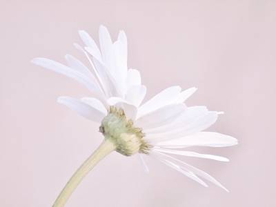 Photograph - Soft Pink Daisy by Barbara St Jean