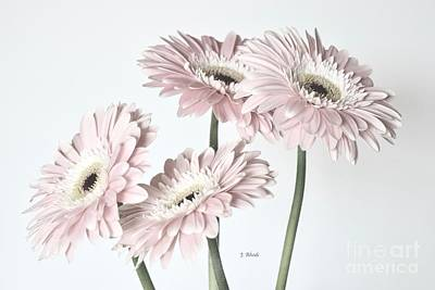 Photograph - Soft Pink Gerbera Daisies  by Jeannie Rhode