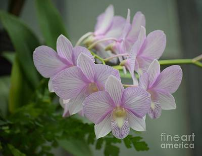 Photograph - Soft Pink Orchids by Jeannie Rhode