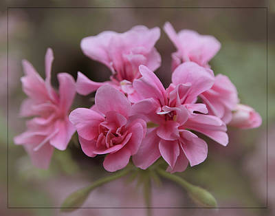 Photograph - Soft Pink Pelargonium by Teresa Wilson