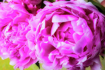 Photograph - Soft Pink Peonies by Garry Gay