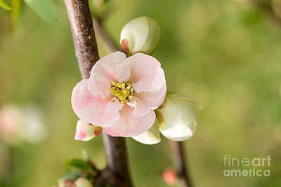 Soft Pink Quince Blossom Art Print by Iris Richardson