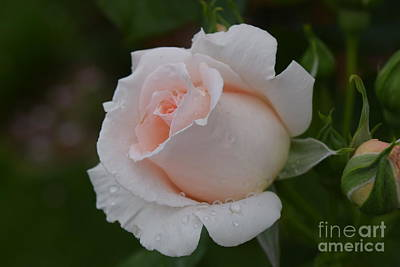 Photograph - Soft Pink Rose Bud by Jeannie Rhode