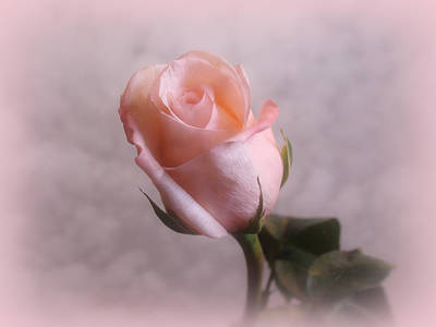Digital Art - Soft Pink Rose by Sandy Keeton