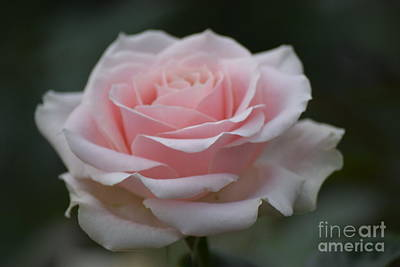 Photograph - Soft Pink Tea Rose by Jeannie Rhode