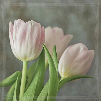 Photograph - Soft Pink Trio Square by Teresa Wilson