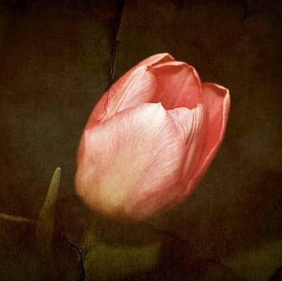 Pdx Art Digital Art - Soft Pink Tulip by Cathie Tyler