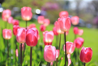 Photograph - Soft Pink Tulips by Angela Murdock
