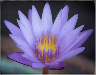 Photograph - Soft Purple Lotus by Teresa Wilson