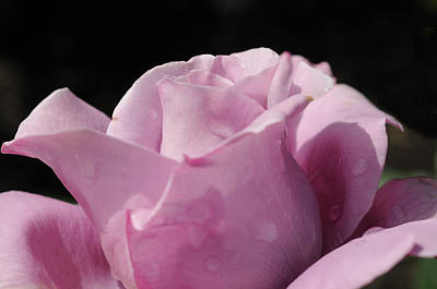 Photograph - Soft Purple Rose by Haleh Mahbod