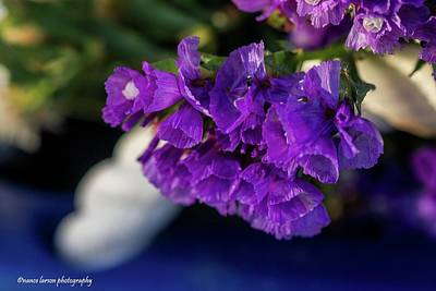 Photograph - Soft Purple Straw Flower by Nance Larson