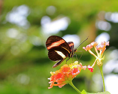 Photograph - Soft Red Postman Butterfly by Angela Murdock