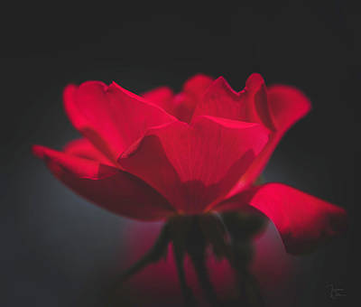 Photograph - Soft Red Rose by Teresa Wilson