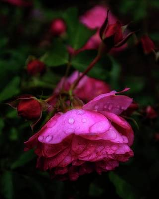 Photograph - Soft Rose After Rain by Alan Raasch