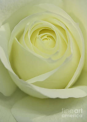 Photograph - Soft Rose by Brian Roscorla