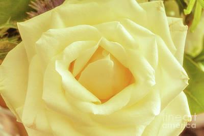 Photograph - Soft Rose by Jim Orr