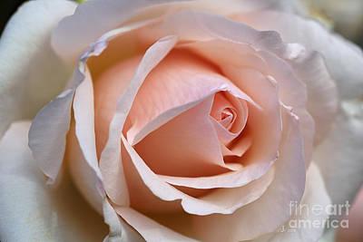 Soft Rose Art Print by Joy Watson