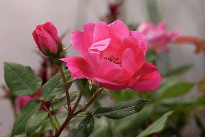 Wall Art - Photograph - Soft Rose Of Healing by Daniel Kleefeld