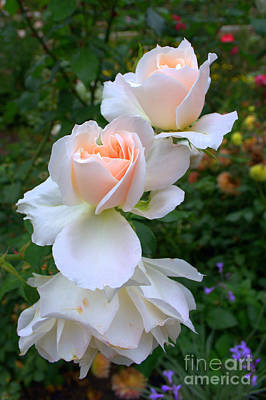 Photograph - Soft Roses by Anjanette Douglas