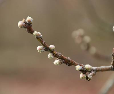 Photograph - Soft Spring Buds by Karen Silvestri