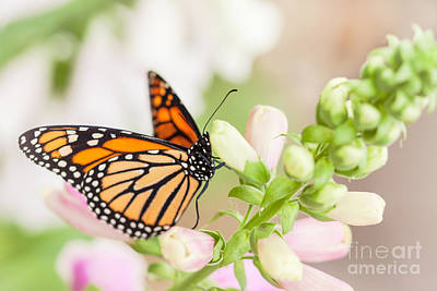 Soft Spring Butterfly Art Print by Ana V Ramirez