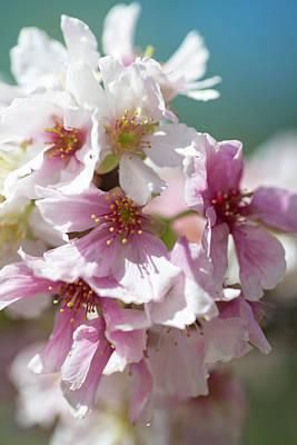 Photograph - Soft Springtime Cherry Blossoms by Lynn Bauer
