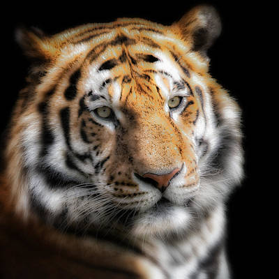 Soft Tiger Portrait Art Print by Chris Boulton