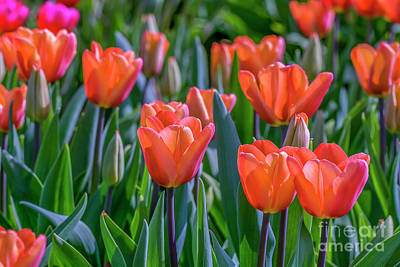 Photograph - Soft Toned Colored Tulips by Patricia Hofmeester