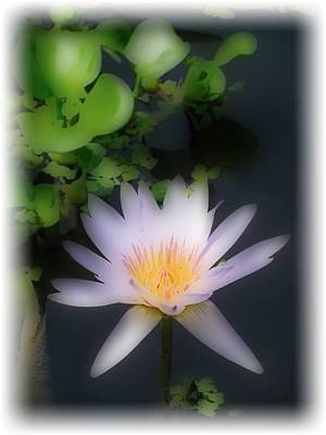 Photograph - Soft Touch Purple Lotus by Debra     Vatalaro