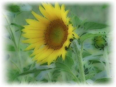 Photograph - Soft Touch Sunflower by Debra     Vatalaro