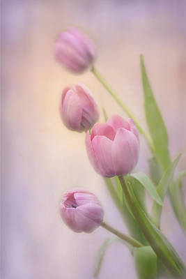 Photograph - Soft Tulips by Ann Bridges